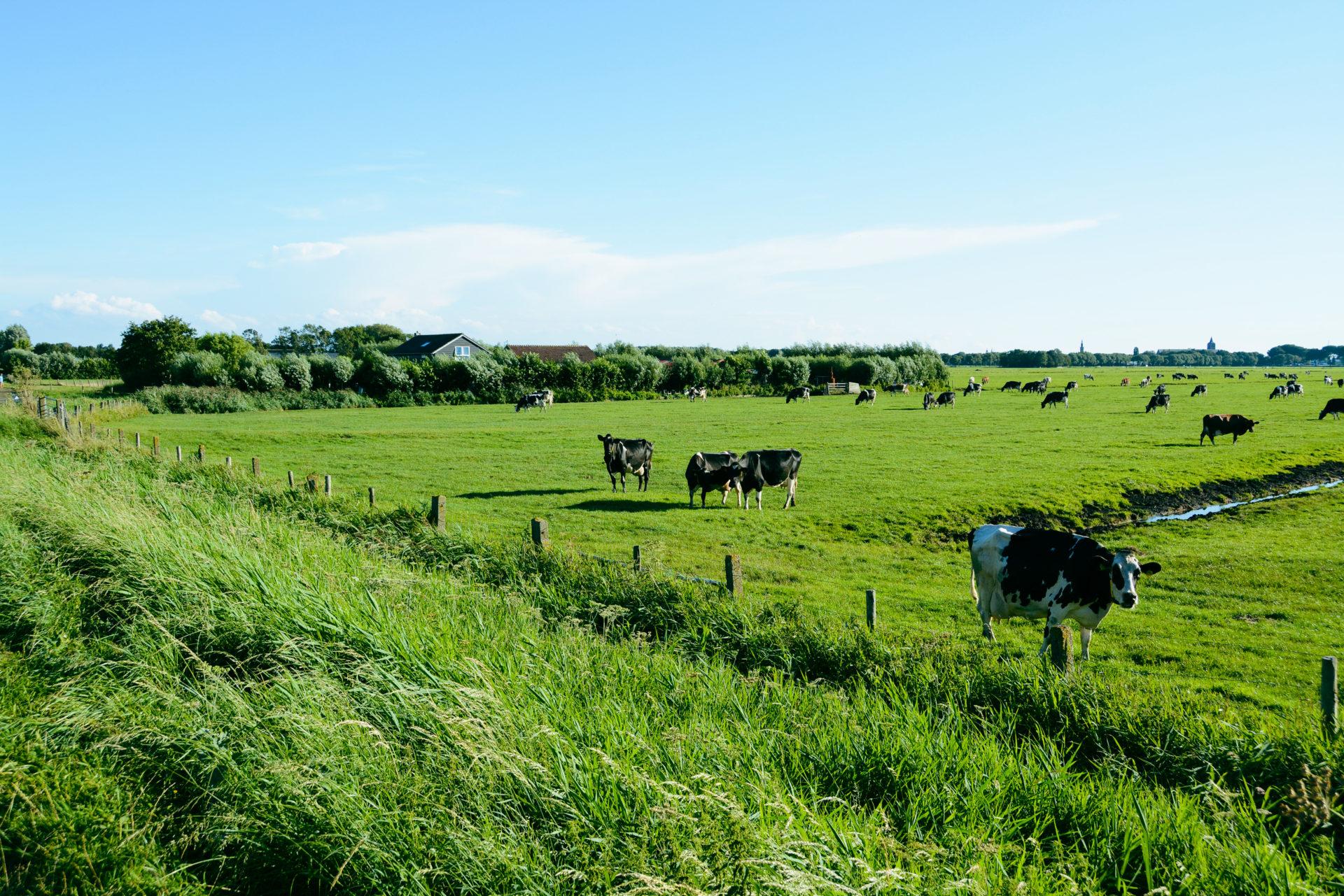 Kuhweide zwischen Edam und Monnickendam in Holland