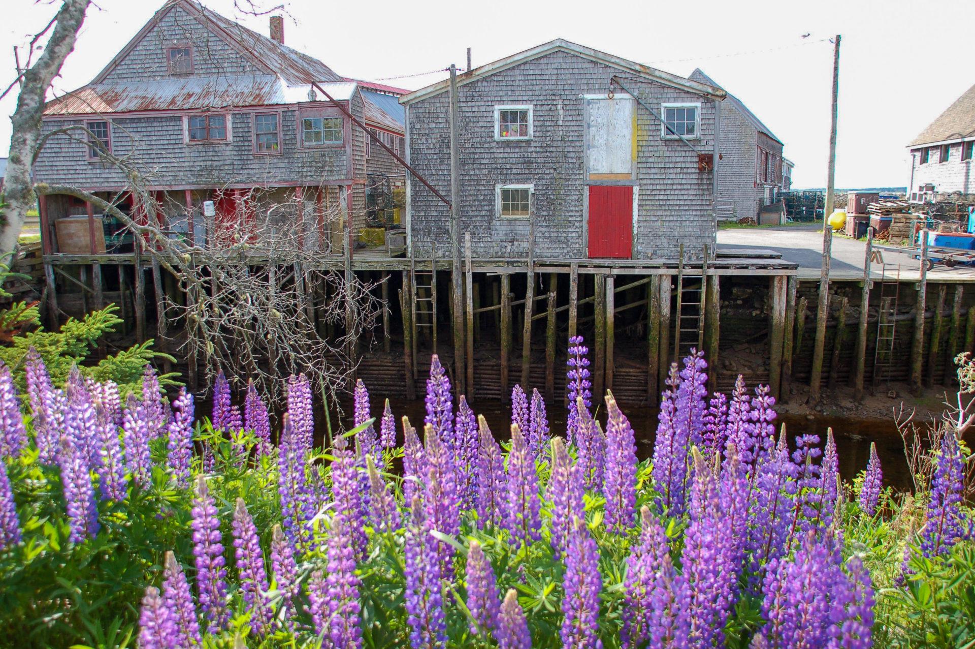 Lupinen voralten Holzhäusern an der Bay of Fundy in Kanada