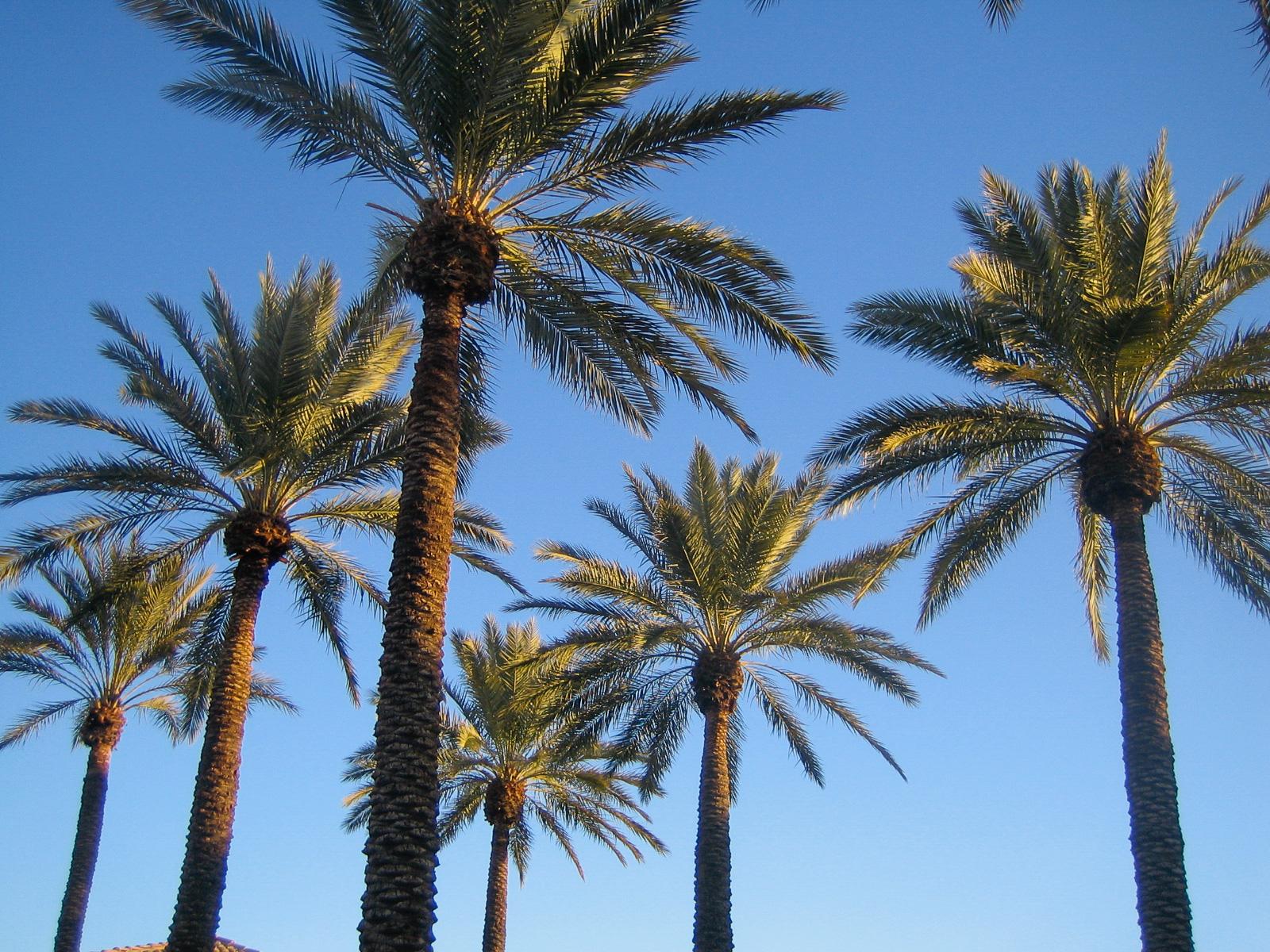 Erst nach dem Sonnenaufgang entwickeln die Palmen von Scottsdale ihre volle Wirkung