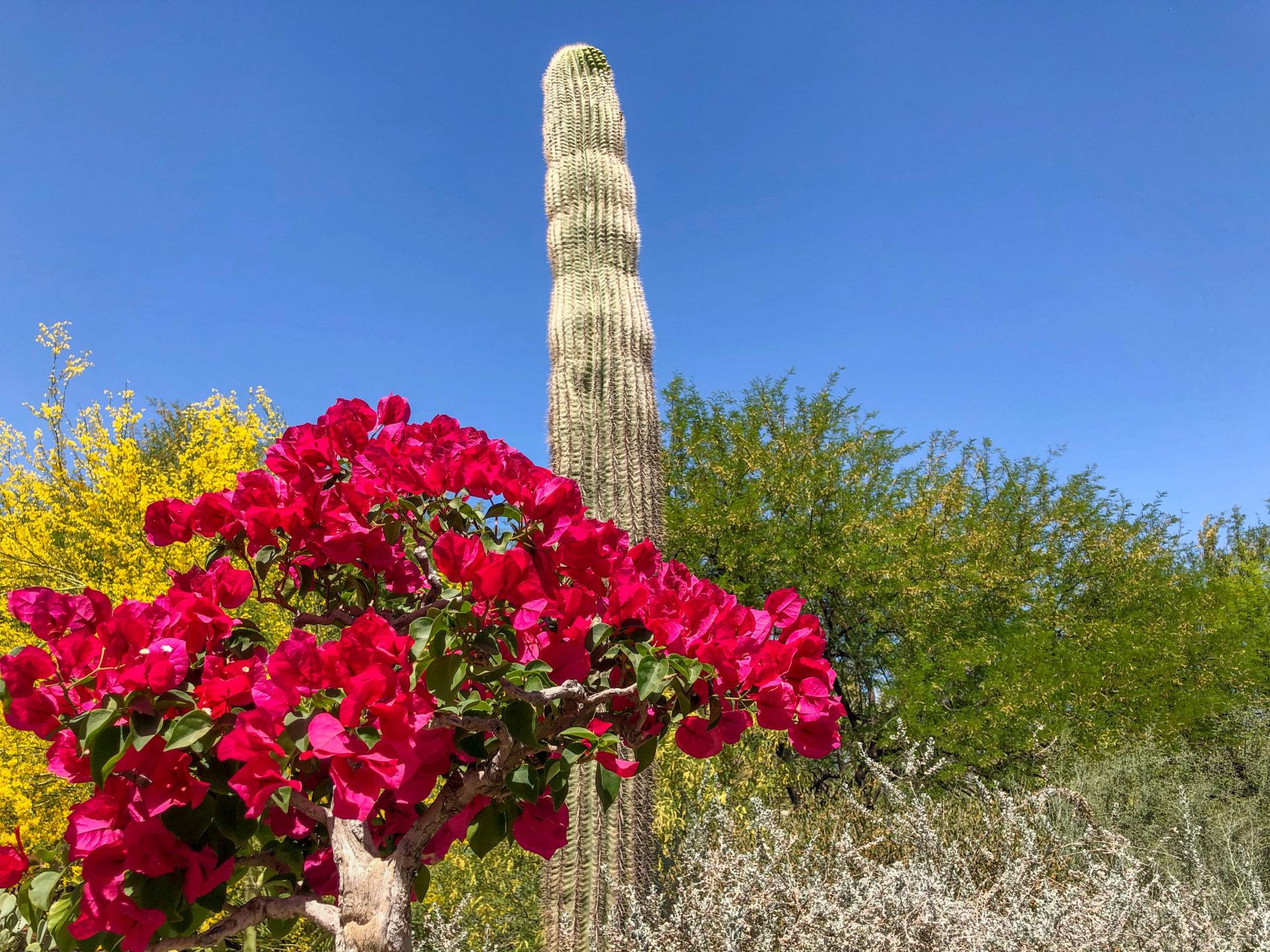 Ein Saguaro mit Wüstenblumen in Scottsdale