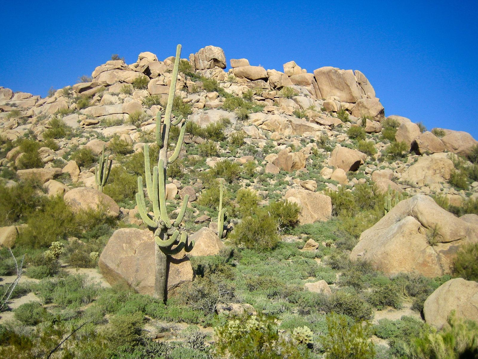 Orgelpfeifenkaktus in Scottsdale in Arizona