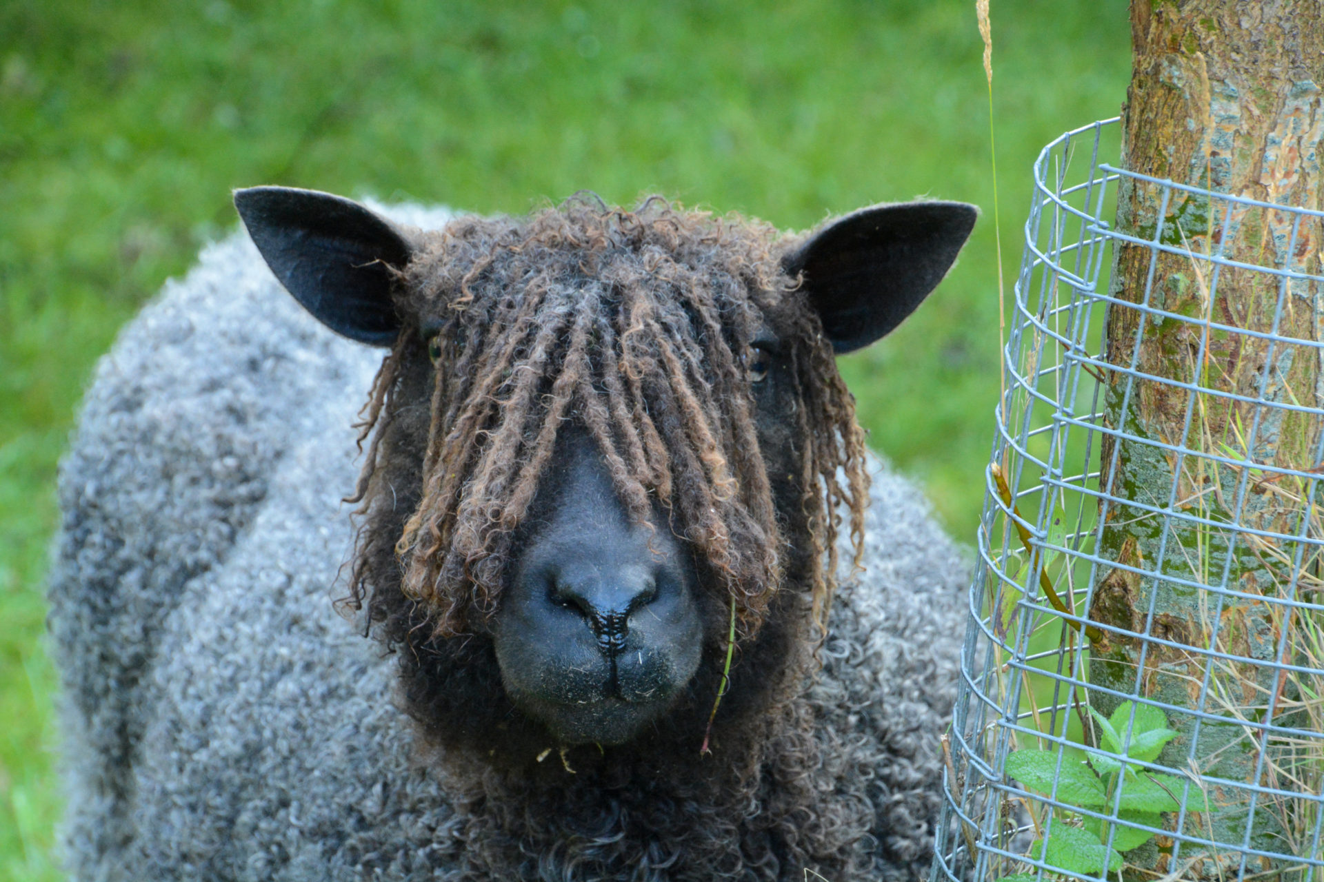 Ein Schaf mit Dreadlocks in Pieterburen