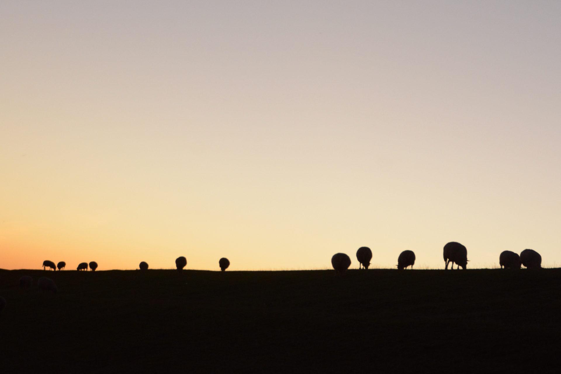 Schafe auf der Deichkrone von Pieterburen