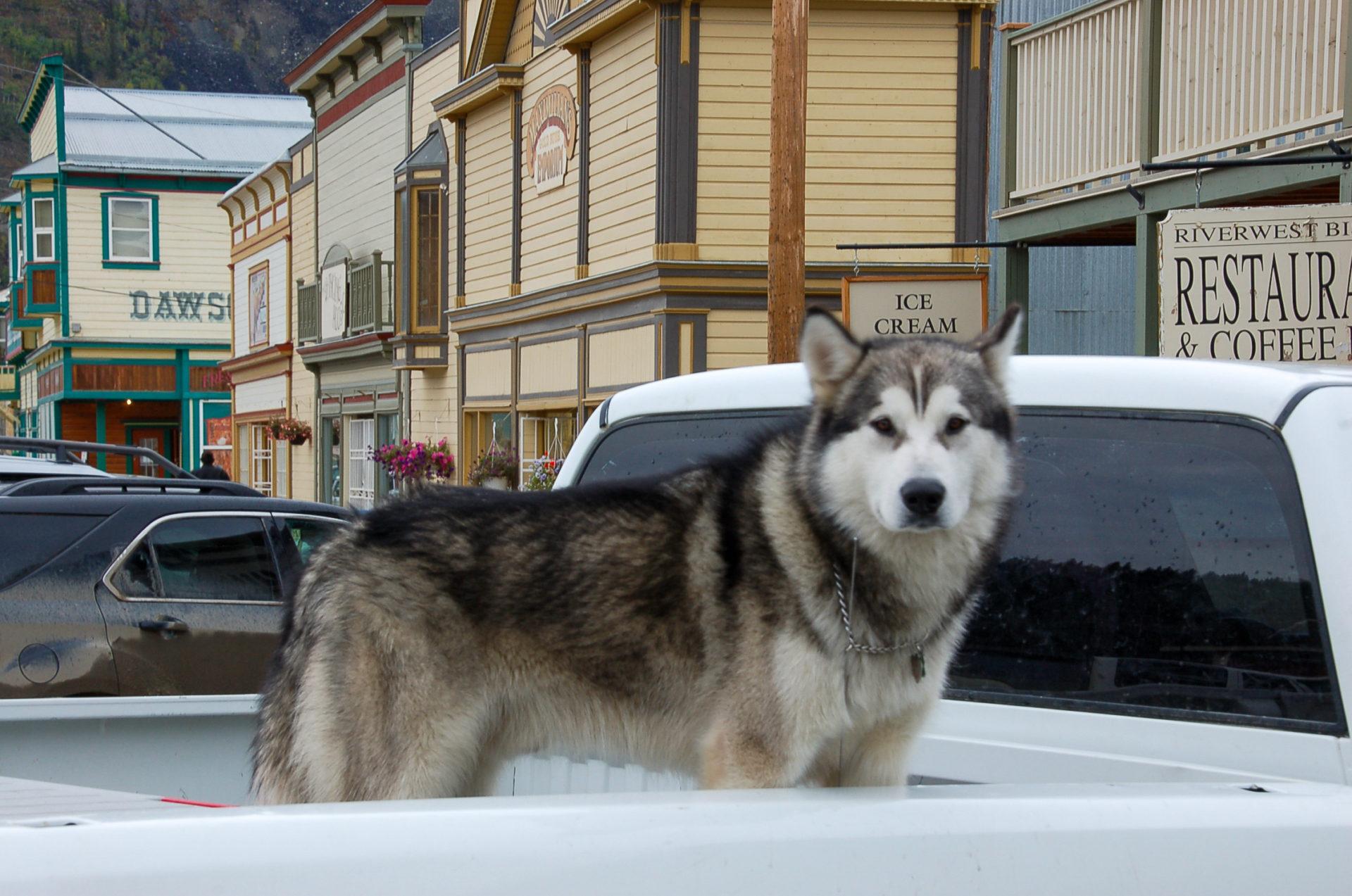 Husky in Dawson City