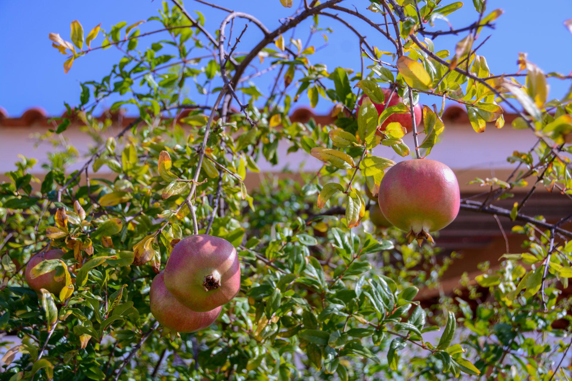 Granatäpfel auf der Ilha da Culatra