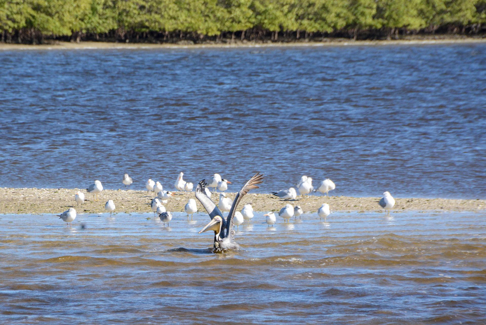 Pelikan vor Mangroveninsel in den Everglades in Florida