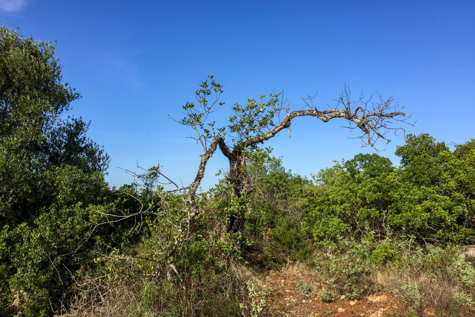 Knorriger Wacholder an der Algarve