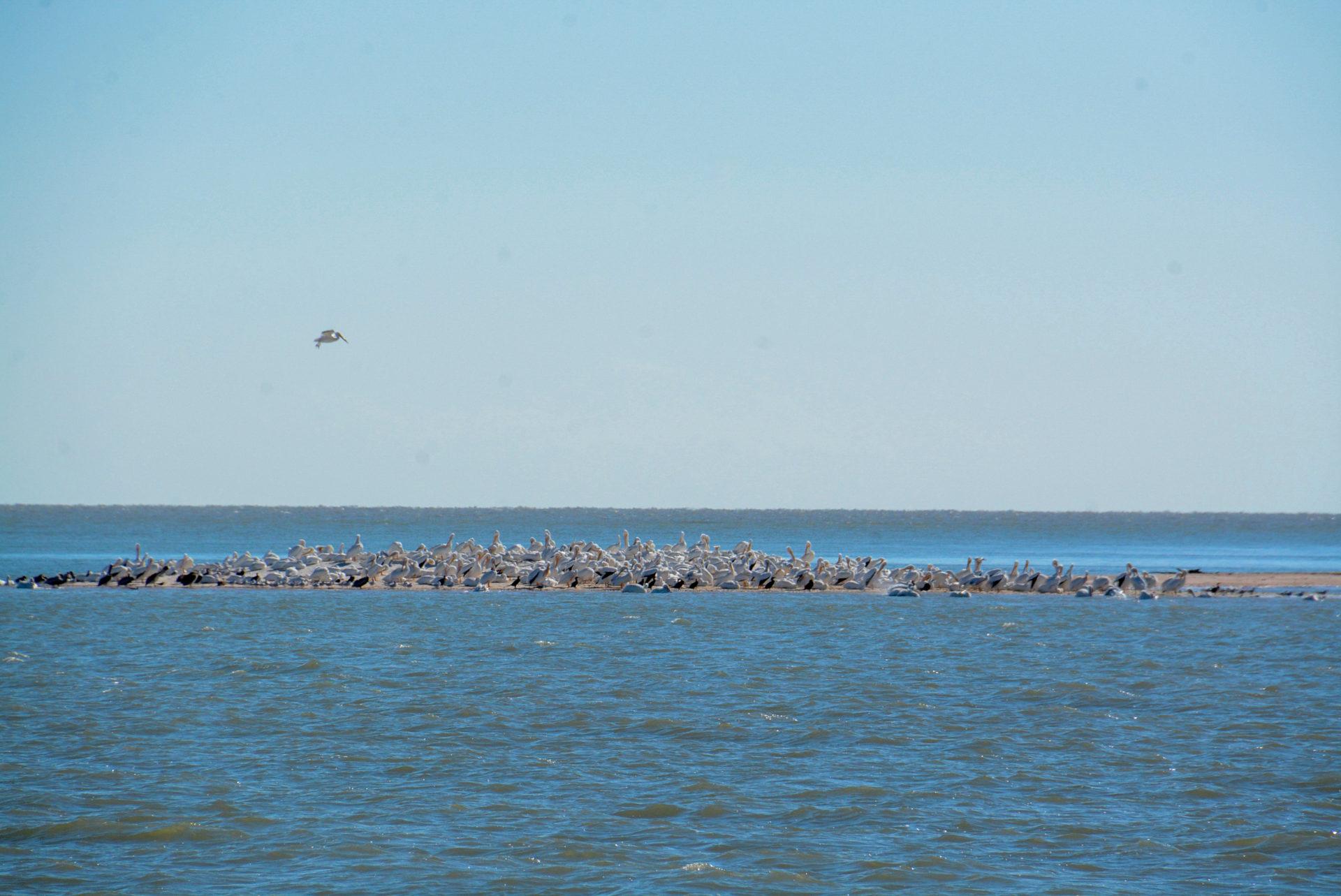 Weißer Pelikan im Anflug auf eine Insel der Ten Thousand Islands in Florida