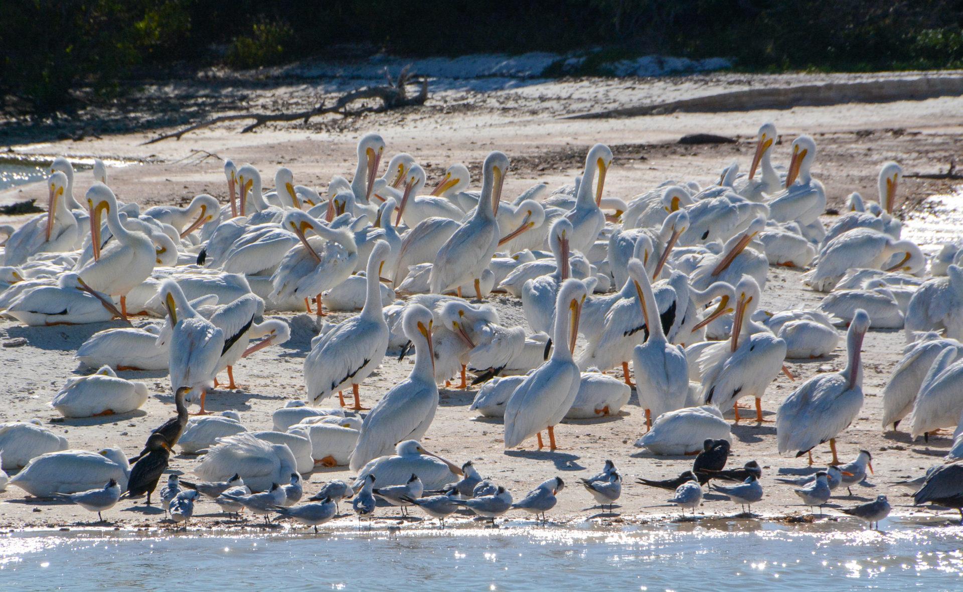 Kolonie weißer Pelikane in den Ten Thousand Islands in Florida