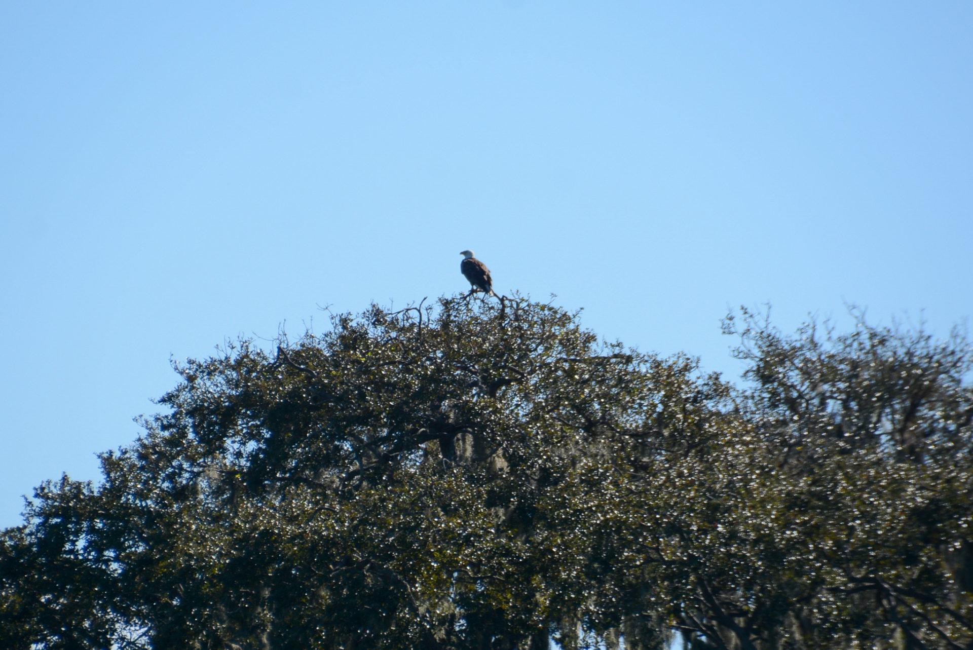 Ein American Eagle auf einem Baum in Florida