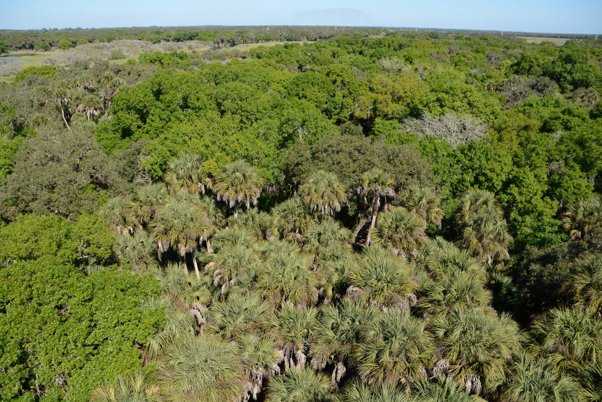 Dichte Wälder aus Königspalmen und Laubhölzern im Myakka River State Park