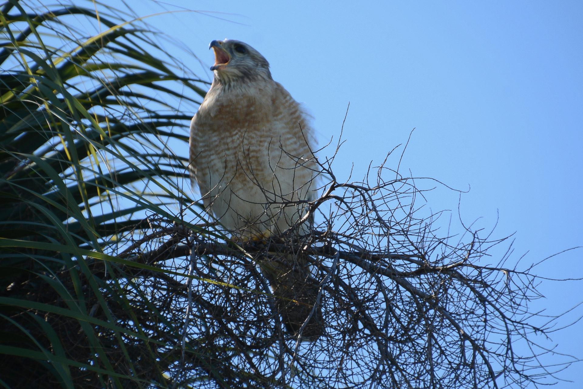 Ein Baby-Adler an der Westküste Floridas