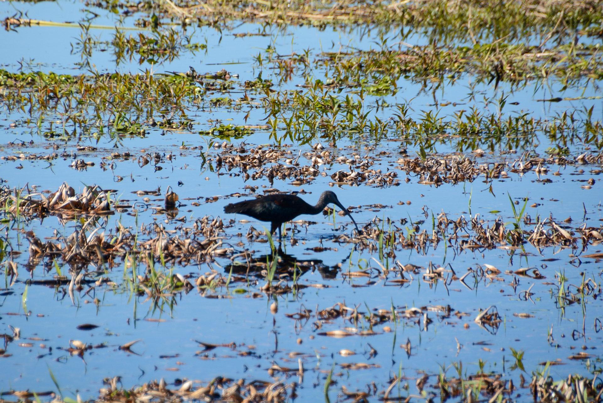 Ein Ibis stochert im Sumpf des Myakka River auf der Suche nach Nahrung