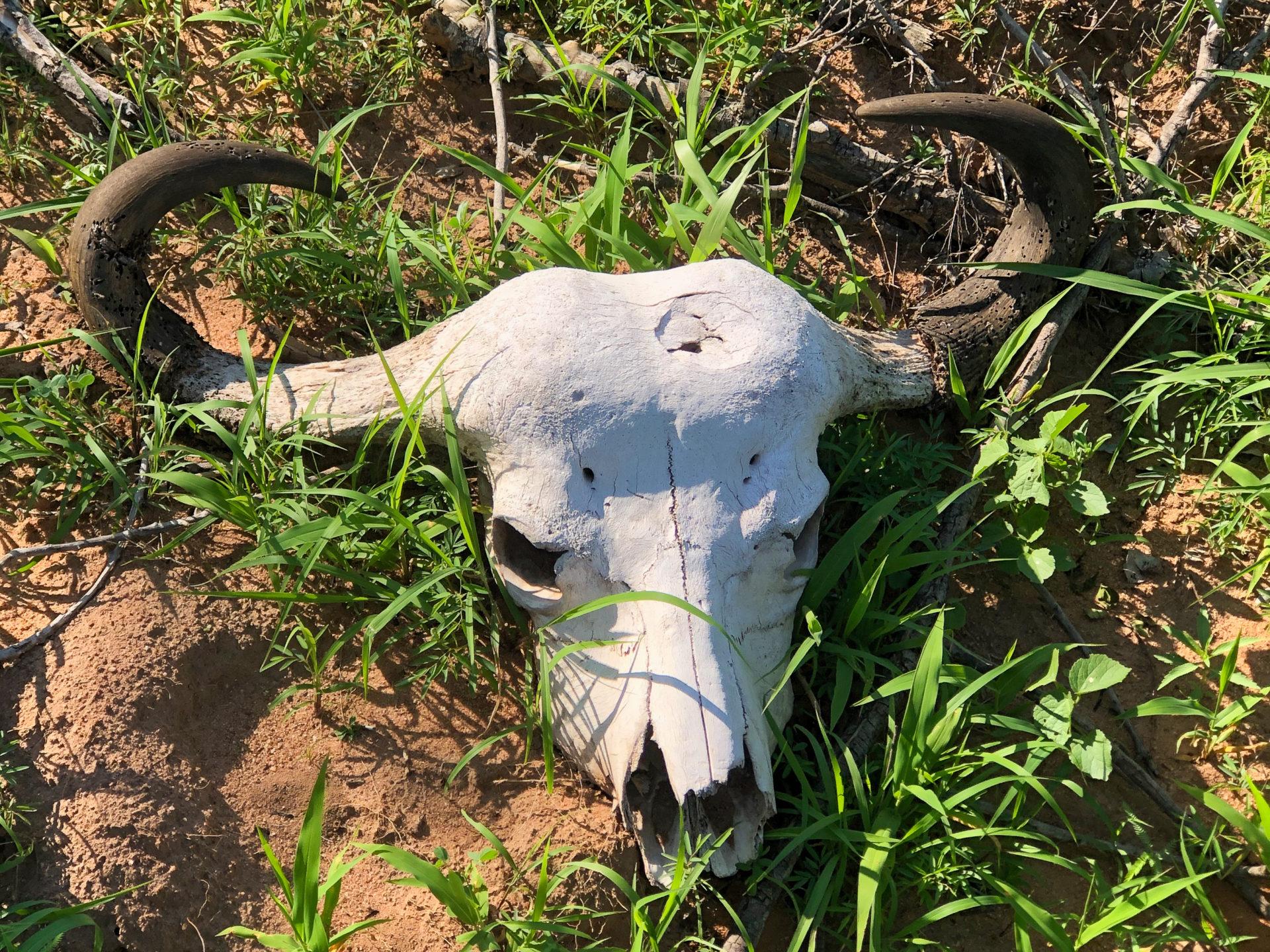 Der Schädel eines Wasserbüffels im Greater Krueger National Park