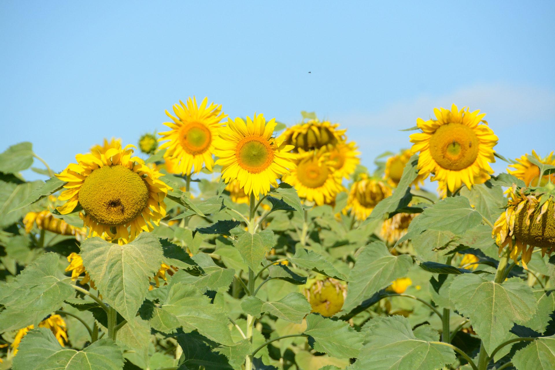 Sonnenblumenfeld in Queensland mit Biene