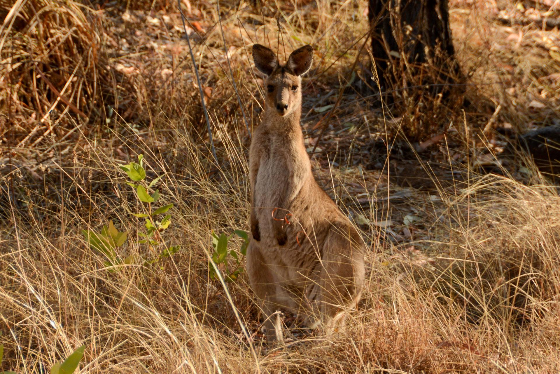Känguruh schaut neugierig in die Kamera