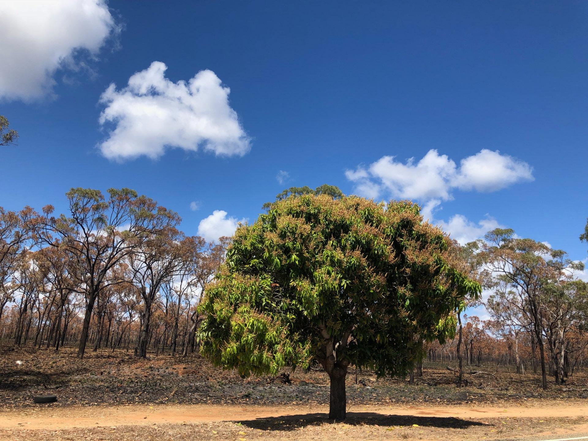 Mangobaum vor Buschland in Queensland