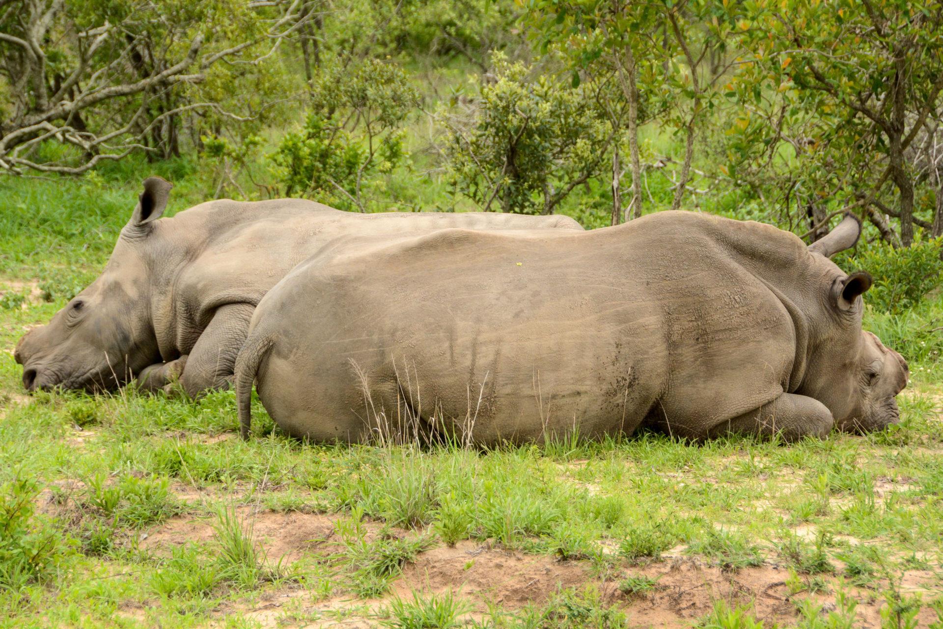 Zwei liegende Nashörner ohne Horn im Greater Kruger.