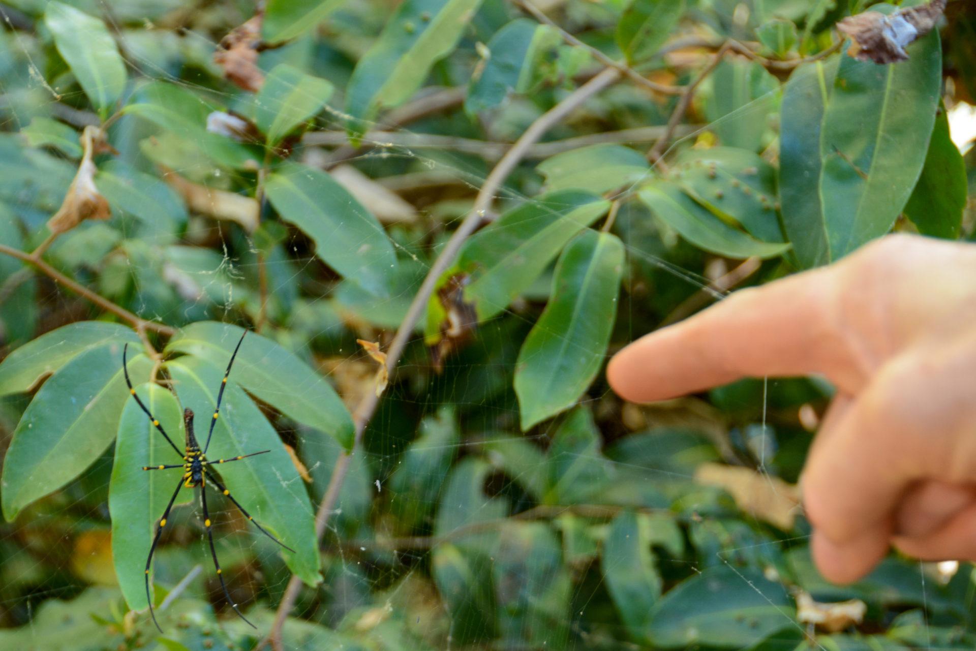 Schwarzgelbe Spinne in ihrem Netz in Queensland
