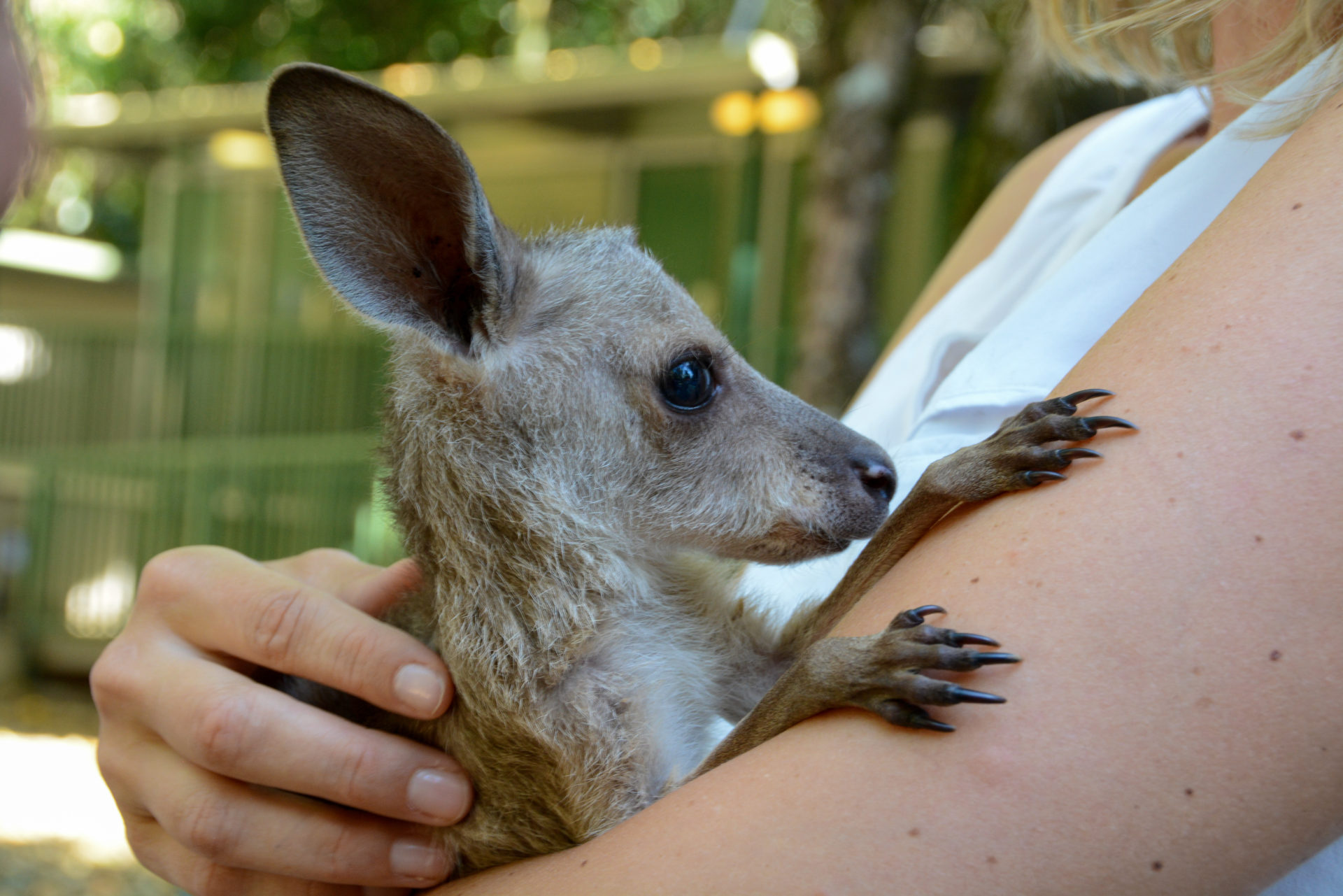 Wallaby Uki auf dem Arm einer Frau
